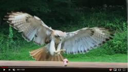 hawk feeding2